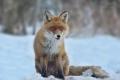 liska_hrdzava_vulpes_vulpes