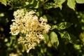 kvet-bazy-čiernej_1600x1063